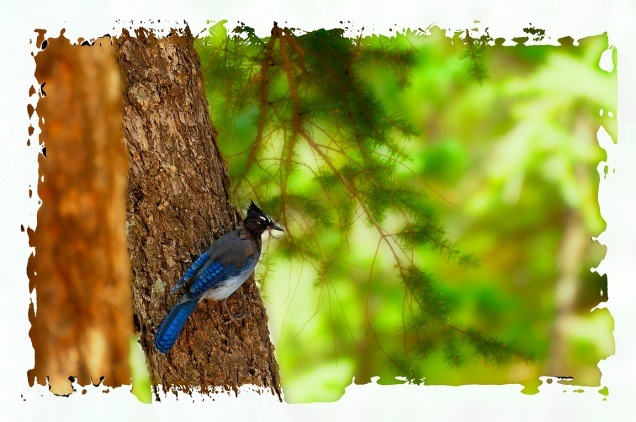 20110816_130217_resident-stellers-jay-copy