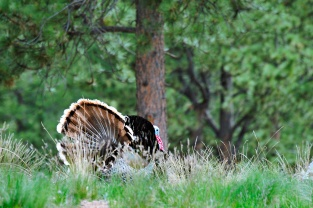20120529_161353_wild-turkey-copy