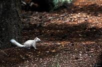 albino-squirrel