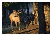 deer-by-woodpile