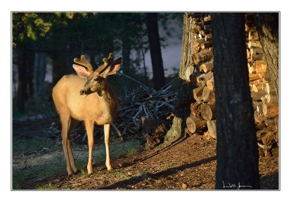 deer-by-woodpile