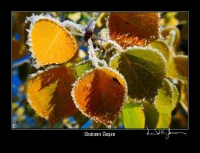 20121007_104329_our-aspen-trees-copy
