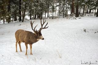 buck-in-snow